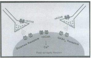 Ацетилхолин активирует пре- и постсинаптические никотиновые рецепторы