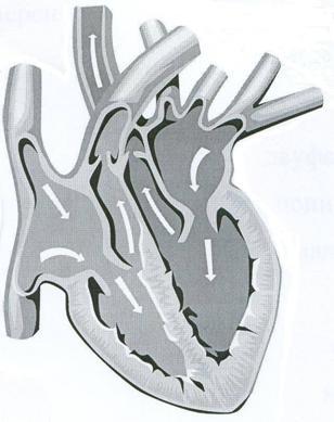 Эффекты нивалина на сердечно-сосудистую систему